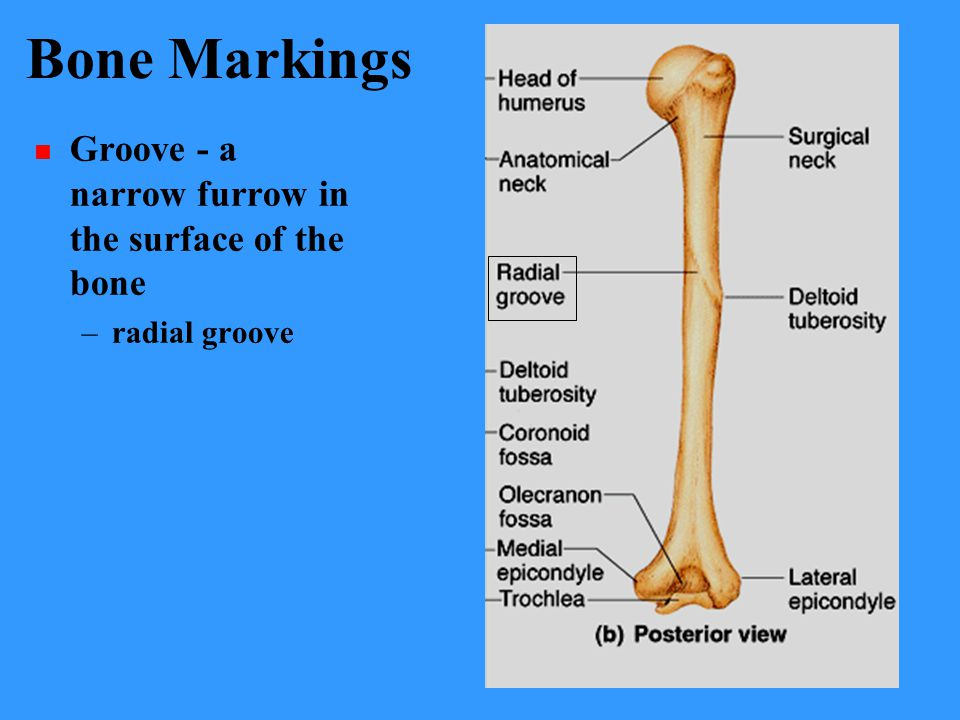 Bone Markings Groove - a narrow furrow in the surface of the bone