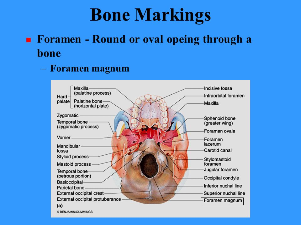 Bone Markings Foramen - Round or oval opeing through a bone