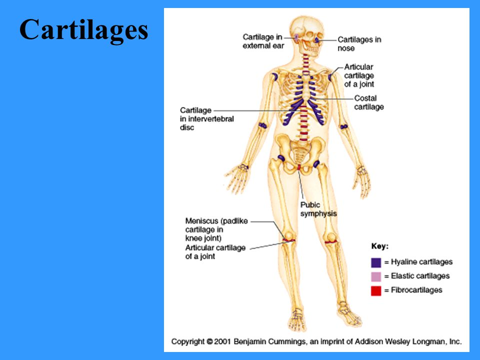 Cartilages