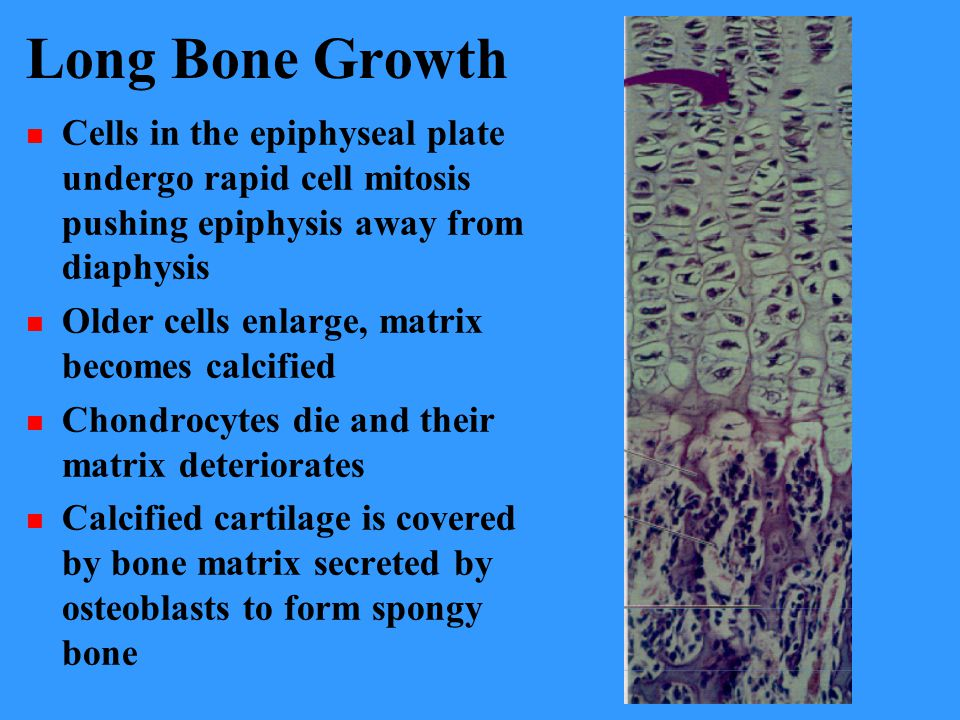 Long Bone Growth Cells in the epiphyseal plate undergo rapid cell mitosis pushing epiphysis away from diaphysis.