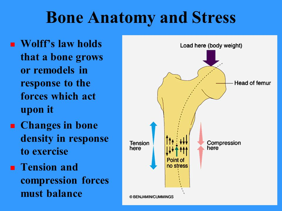 Bone Anatomy and Stress