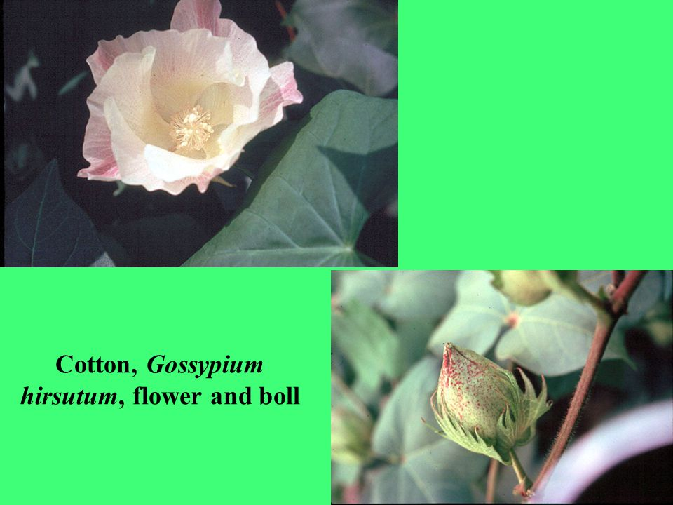 Cotton, Gossypium hirsutum, flower and boll