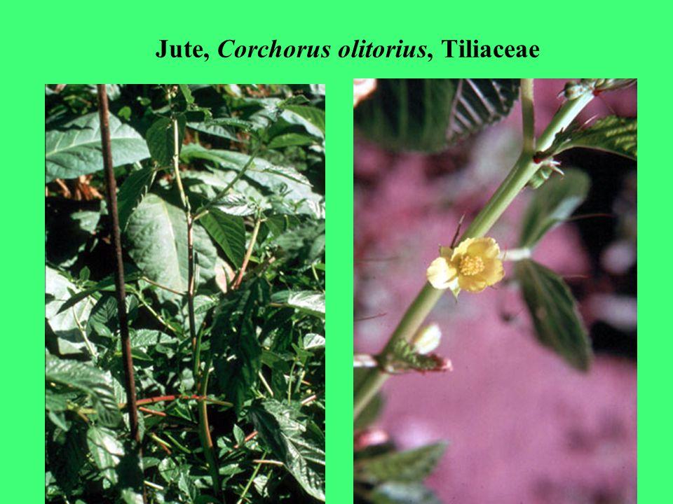 Jute, Corchorus olitorius, Tiliaceae