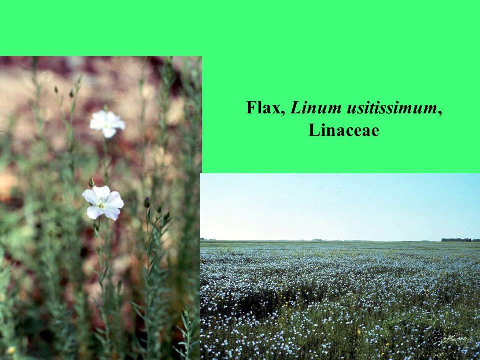 Flax, Linum usitissimum, Linaceae
