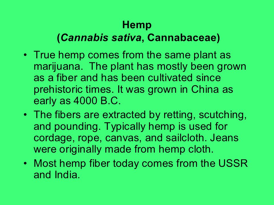 Hemp (Cannabis sativa, Cannabaceae)