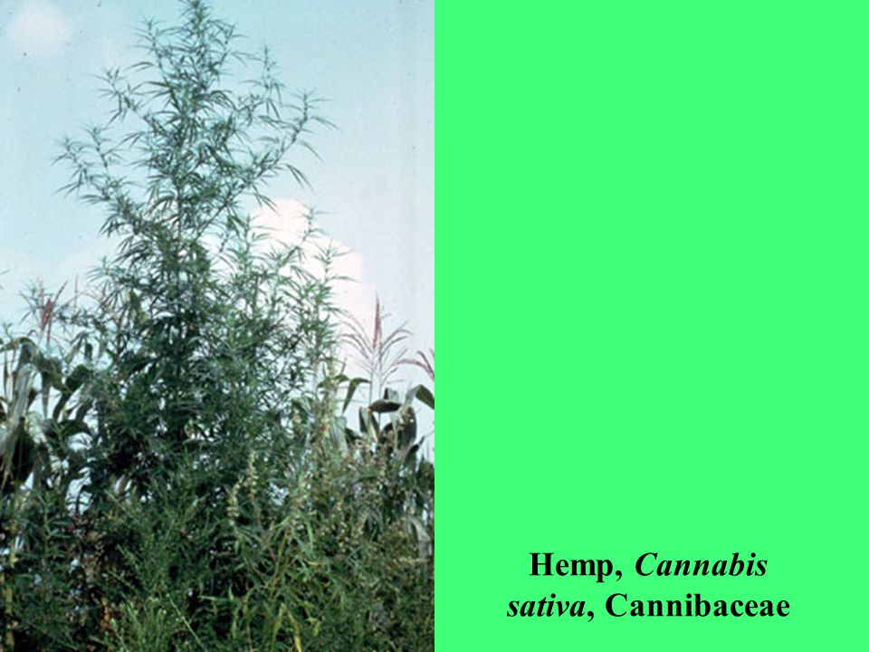 Hemp, Cannabis sativa, Cannibaceae