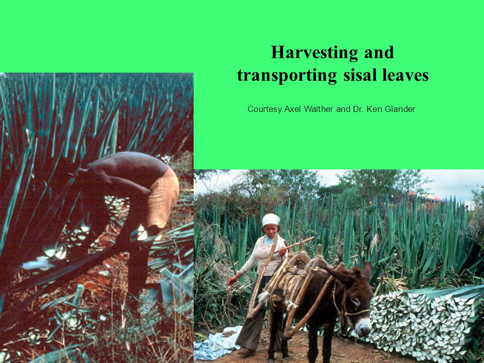 Harvesting and transporting sisal leaves