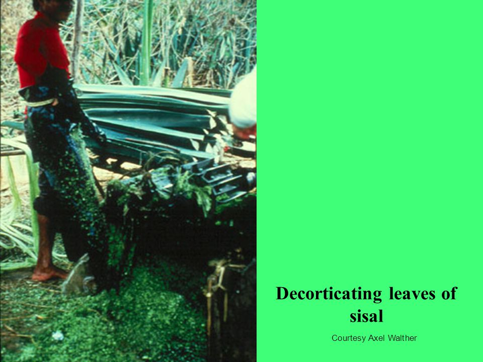 Decorticating leaves of sisal