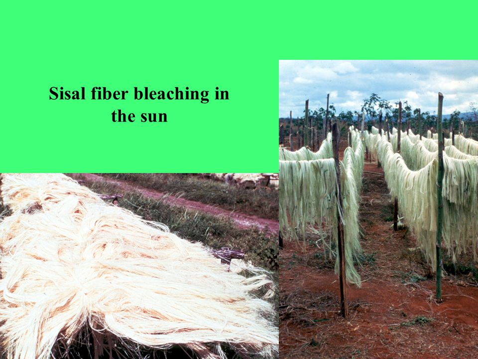 Sisal fiber bleaching in the sun