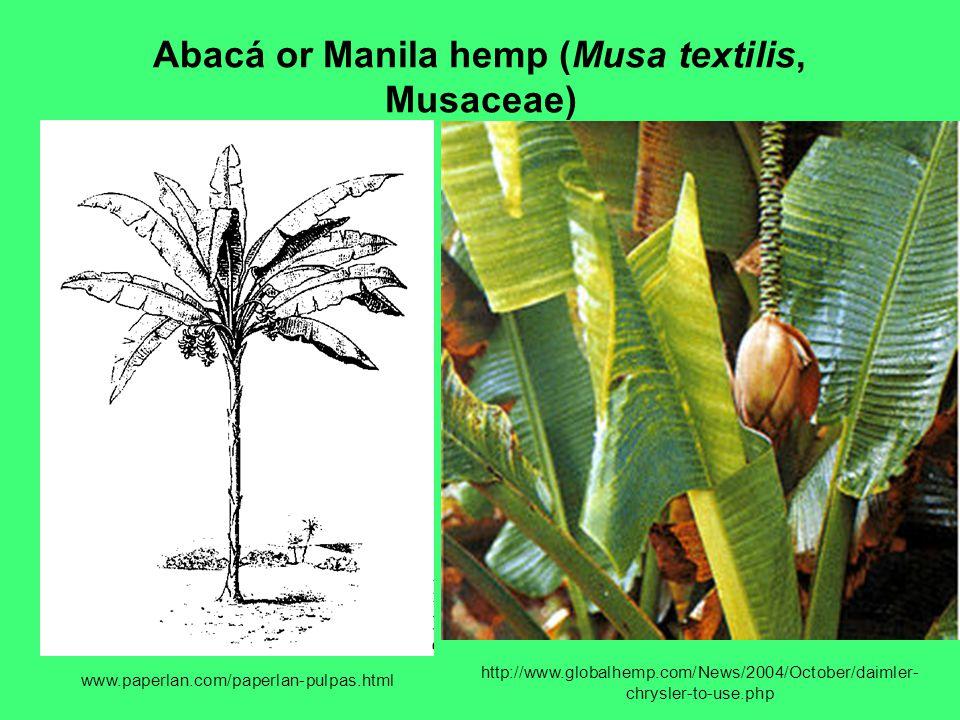 Abacá or Manila hemp (Musa textilis, Musaceae)