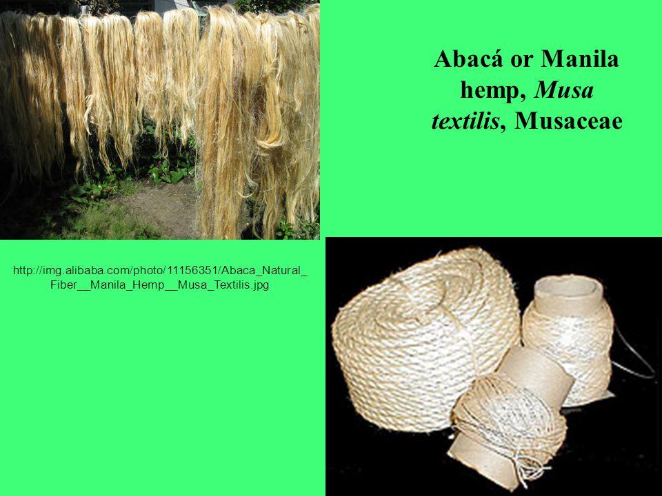 Abacá or Manila hemp, Musa textilis, Musaceae