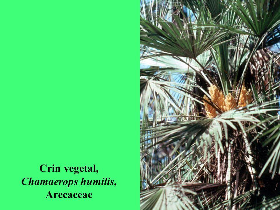 Crin vegetal, Chamaerops humilis, Arecaceae