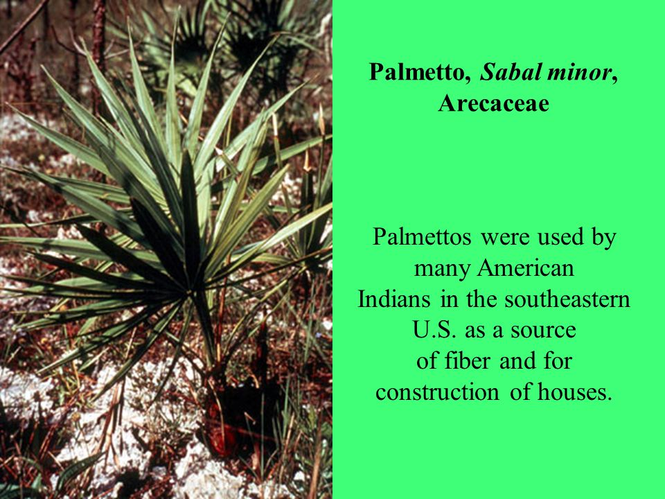 Palmetto, Sabal minor, Arecaceae