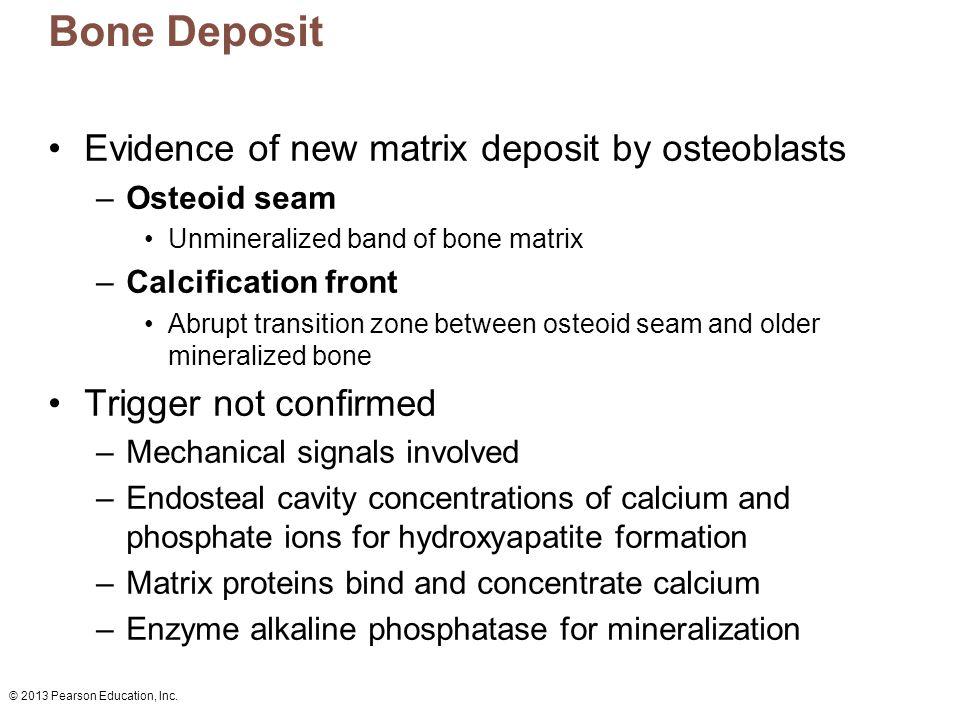 Bone Deposit Evidence of new matrix deposit by osteoblasts