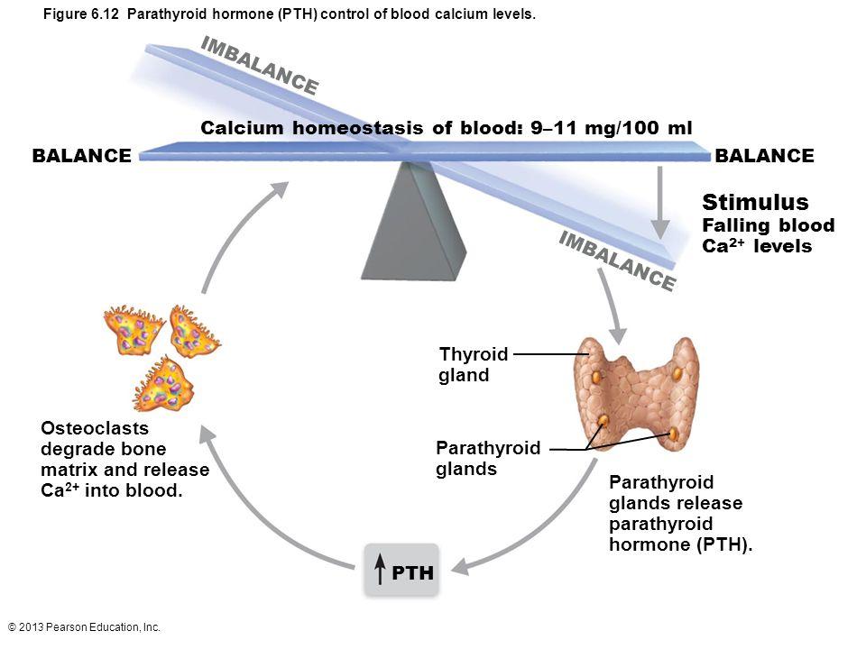 Figure 6.12 Parathyroid hormone (PTH) control of blood calcium levels.