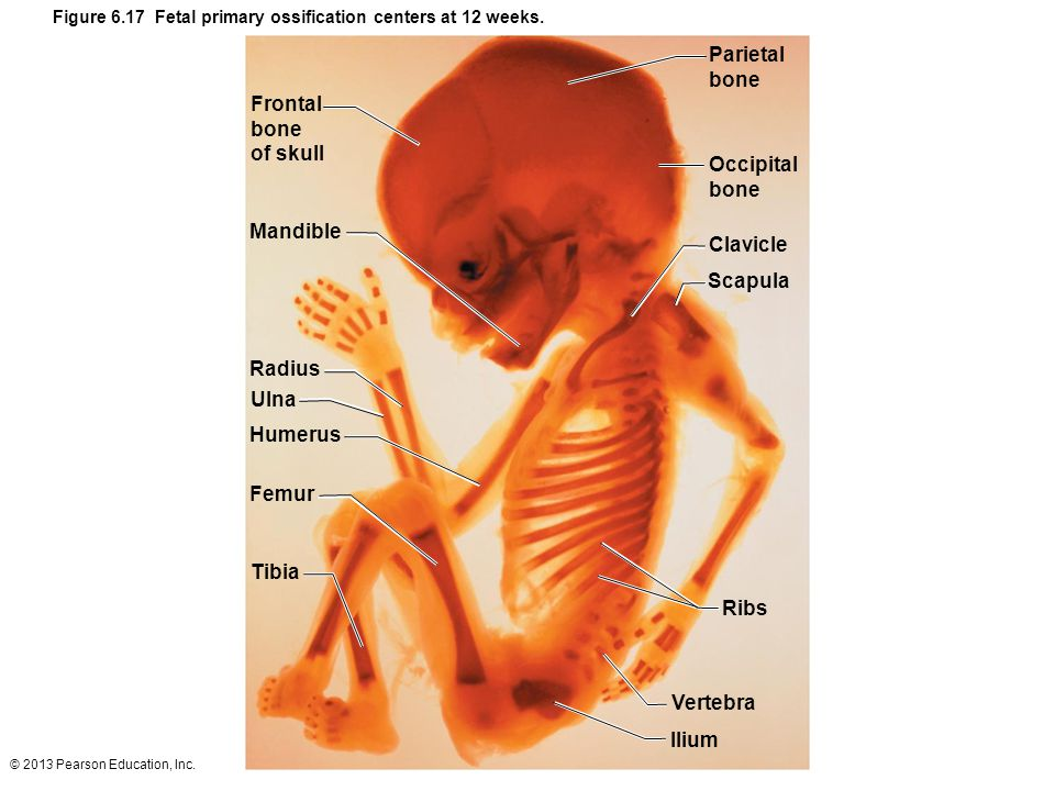 Figure 6.17 Fetal primary ossification centers at 12 weeks.