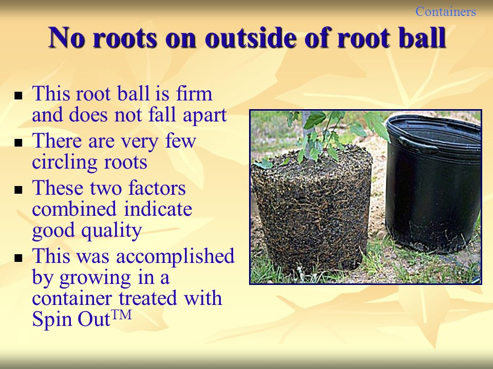 No roots on outside of root ball