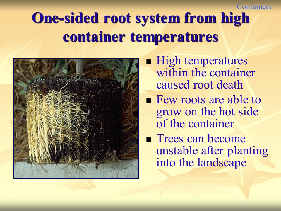 One-sided root system from high container temperatures