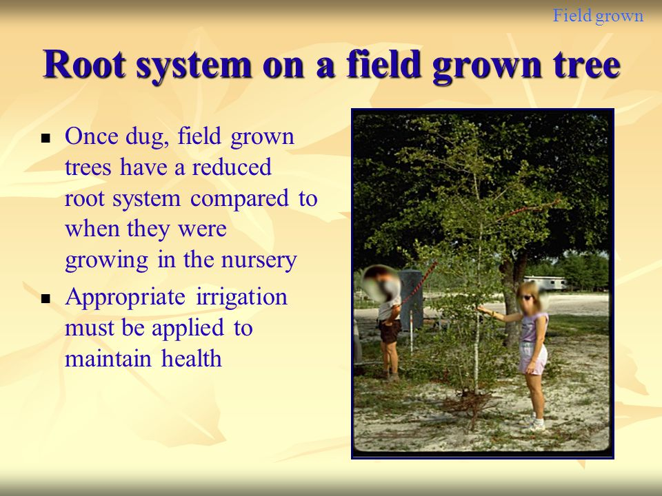 Root system on a field grown tree