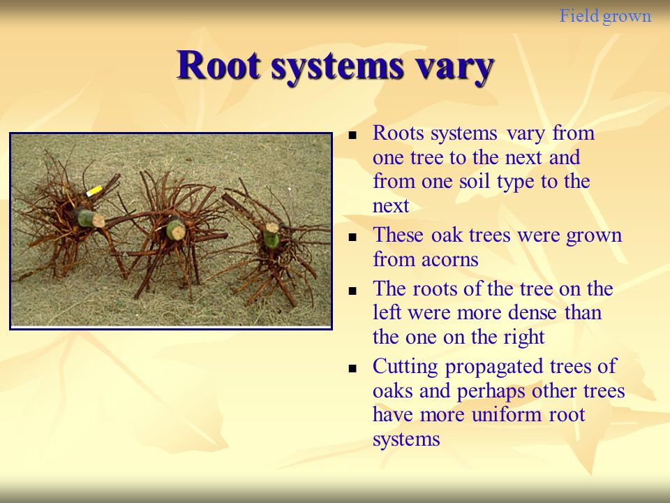 Field grown Root systems vary. Roots systems vary from one tree to the next and from one soil type to the next.