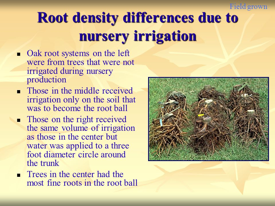 Root density differences due to nursery irrigation