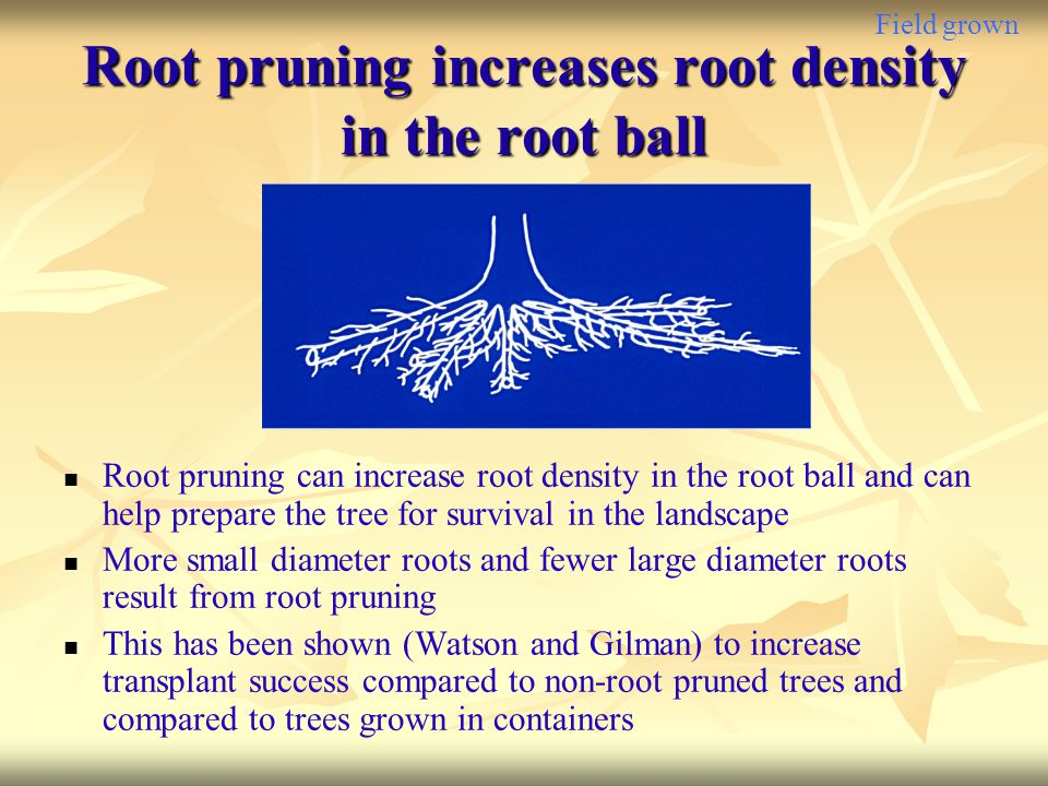 Root pruning increases root density in the root ball