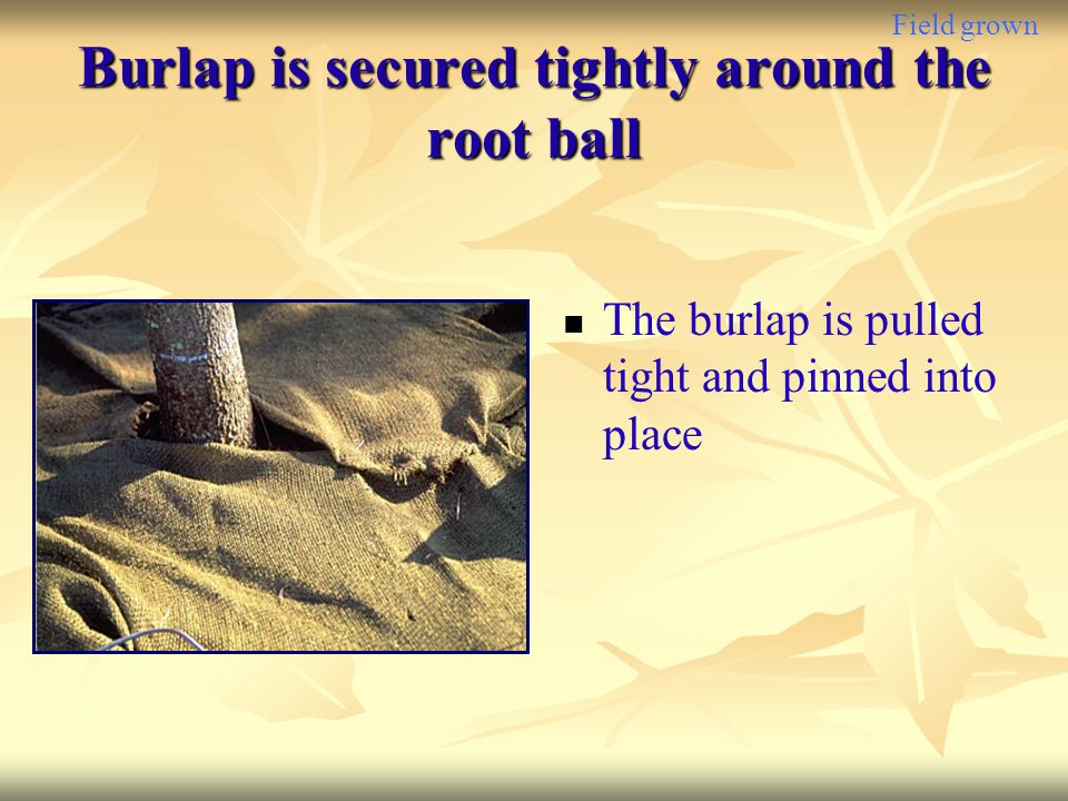 Burlap is secured tightly around the root ball