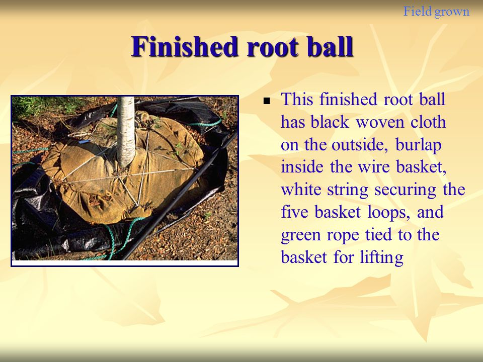 Field grown Finished root ball.