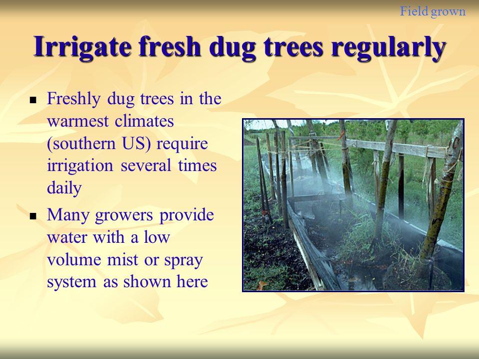 Irrigate fresh dug trees regularly