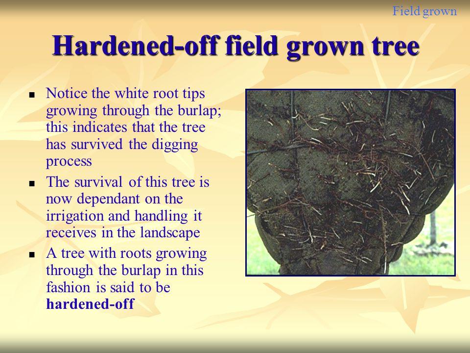 Hardened-off field grown tree