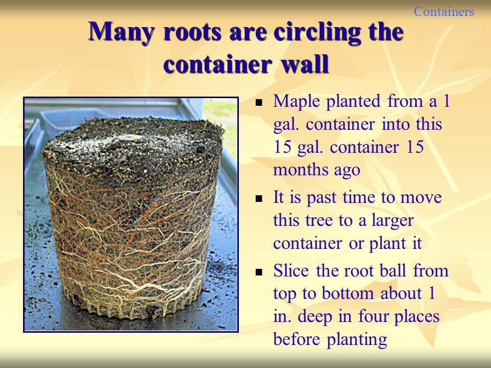 Many roots are circling the container wall