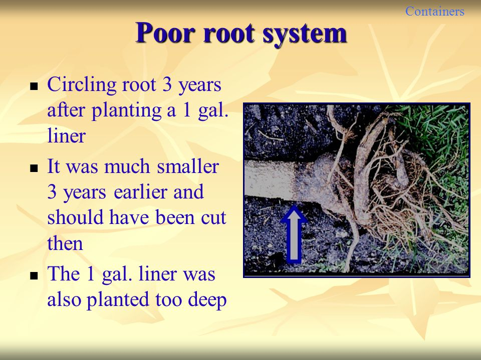 Poor root system Circling root 3 years after planting a 1 gal. liner