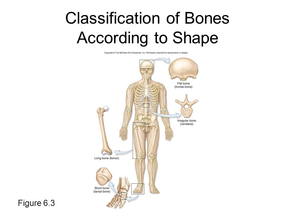Classification of Bones According to Shape