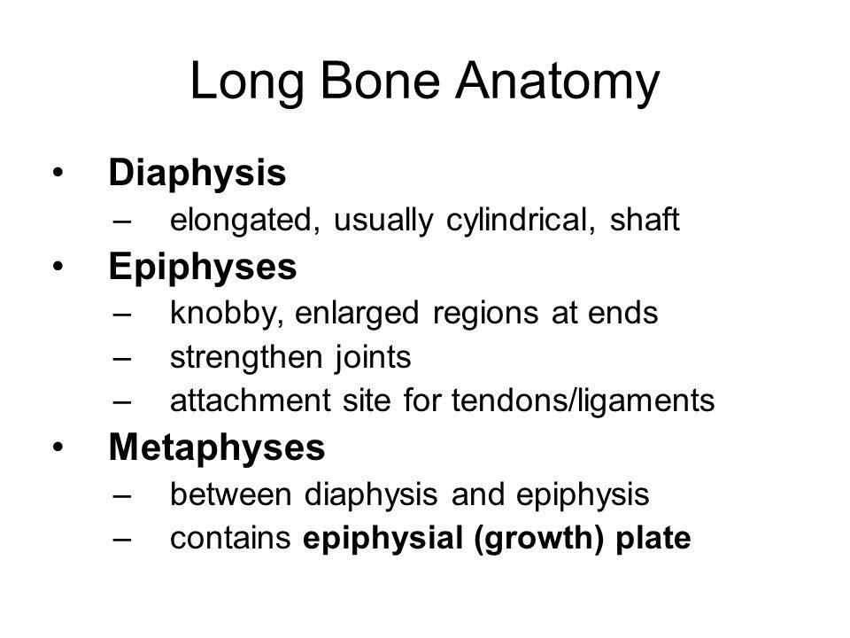 Long Bone Anatomy Diaphysis Epiphyses Metaphyses