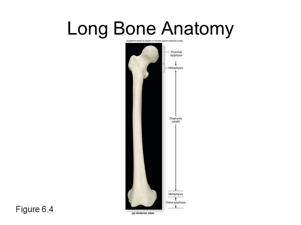 Long Bone Anatomy Figure 6.4