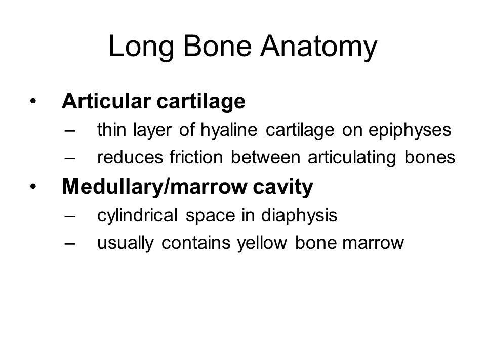 Long Bone Anatomy Articular cartilage Medullary/marrow cavity