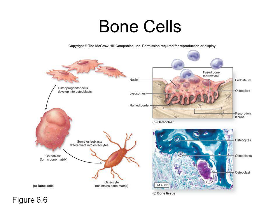 Bone Cells Figure 6.6