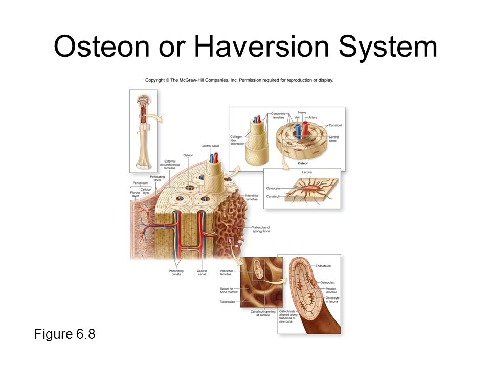 Osteon or Haversion System