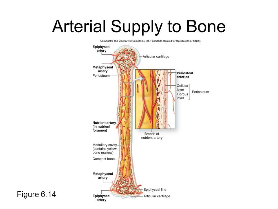 Arterial Supply to Bone