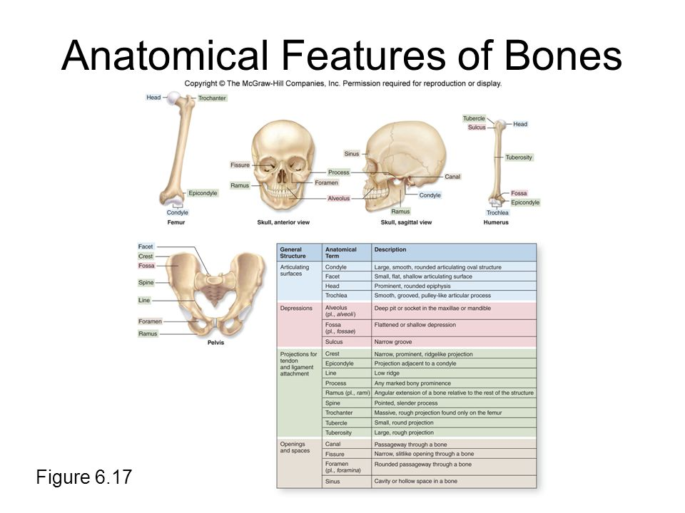 Anatomical Features of Bones