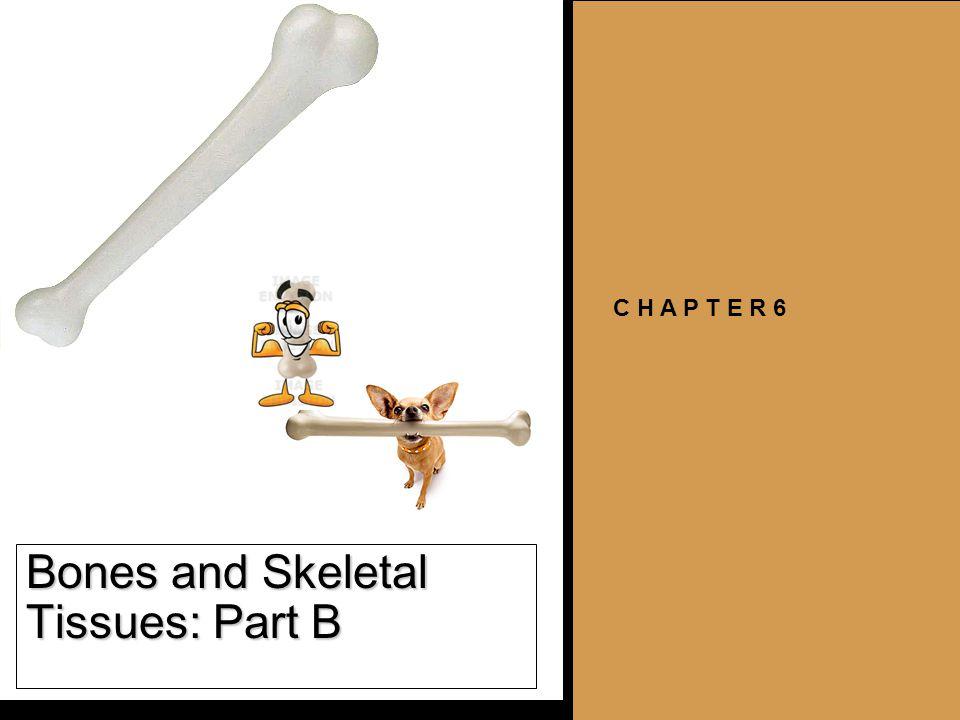 Bones and Skeletal Tissues: Part B