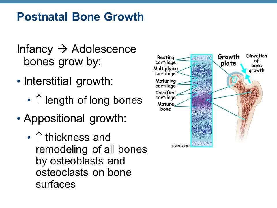 Infancy  Adolescence bones grow by: Interstitial growth: