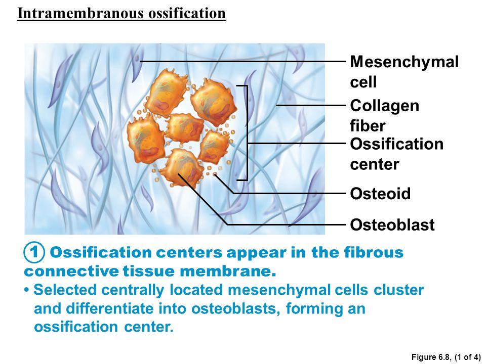 Mesenchymal cell Collagen fiber Ossification center Osteoid Osteoblast