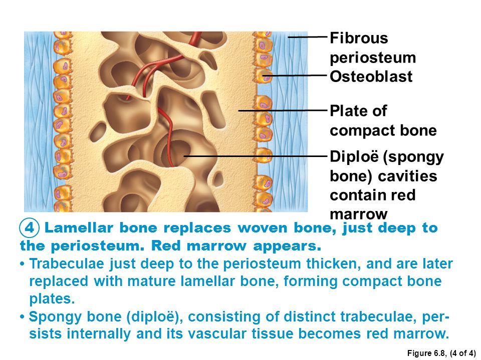 Diploë (spongy bone) cavities contain red marrow
