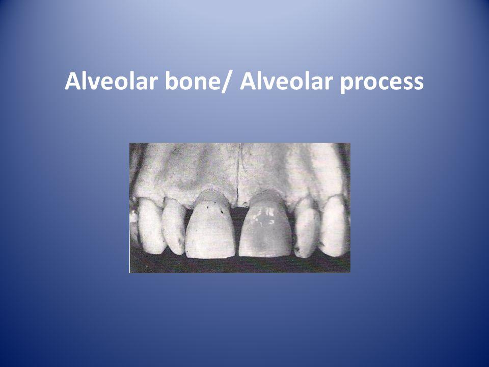 Alveolar bone/ Alveolar process