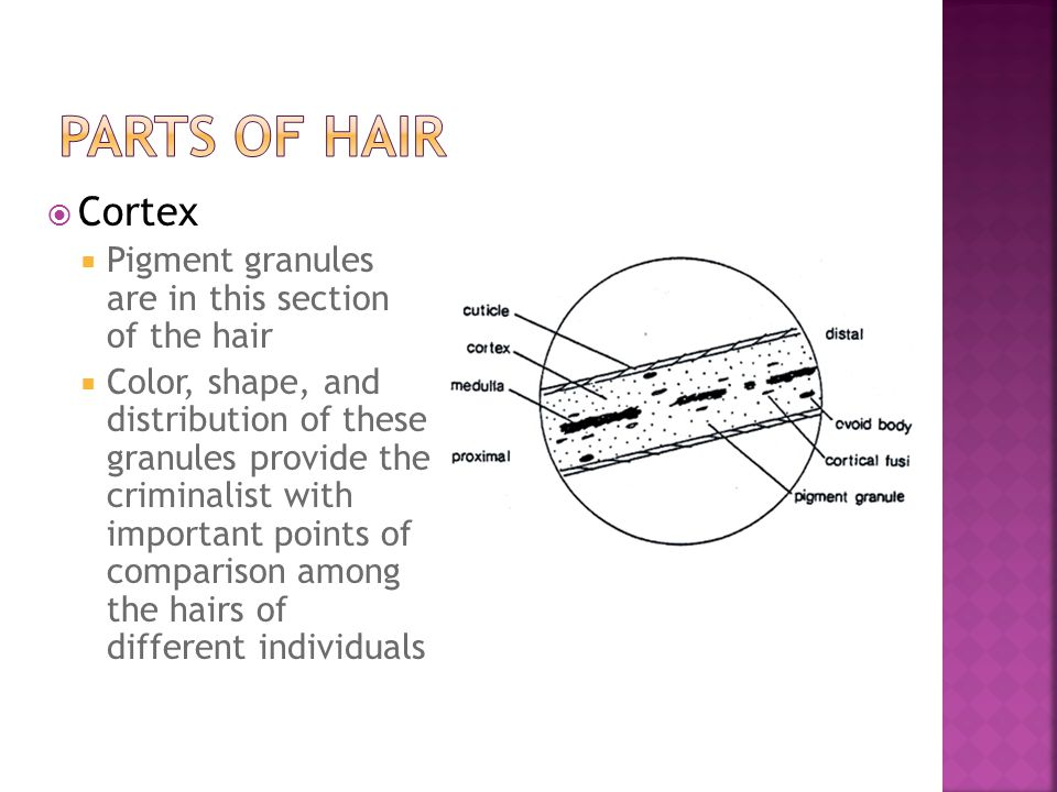 Parts of Hair Cortex Pigment granules are in this section of the hair