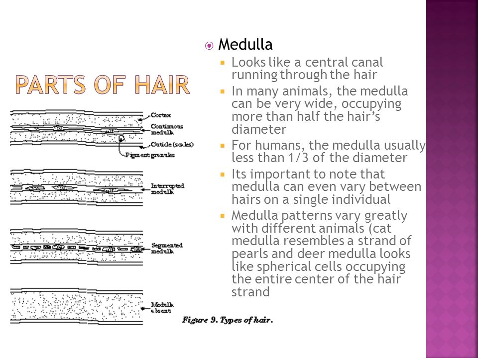 Medulla Looks like a central canal running through the hair.