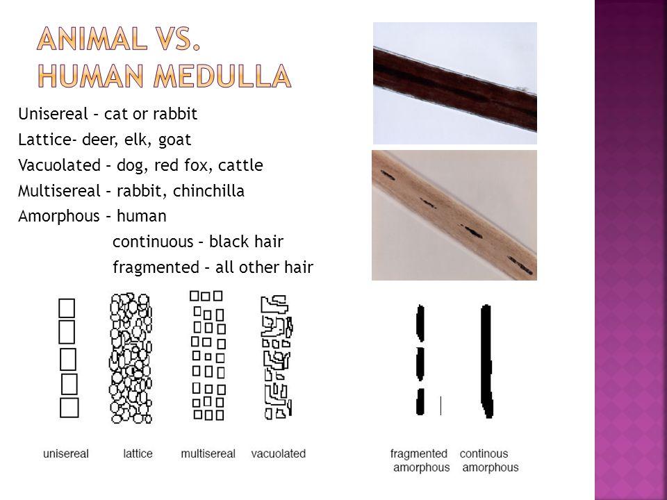 Animal vs. human Medulla