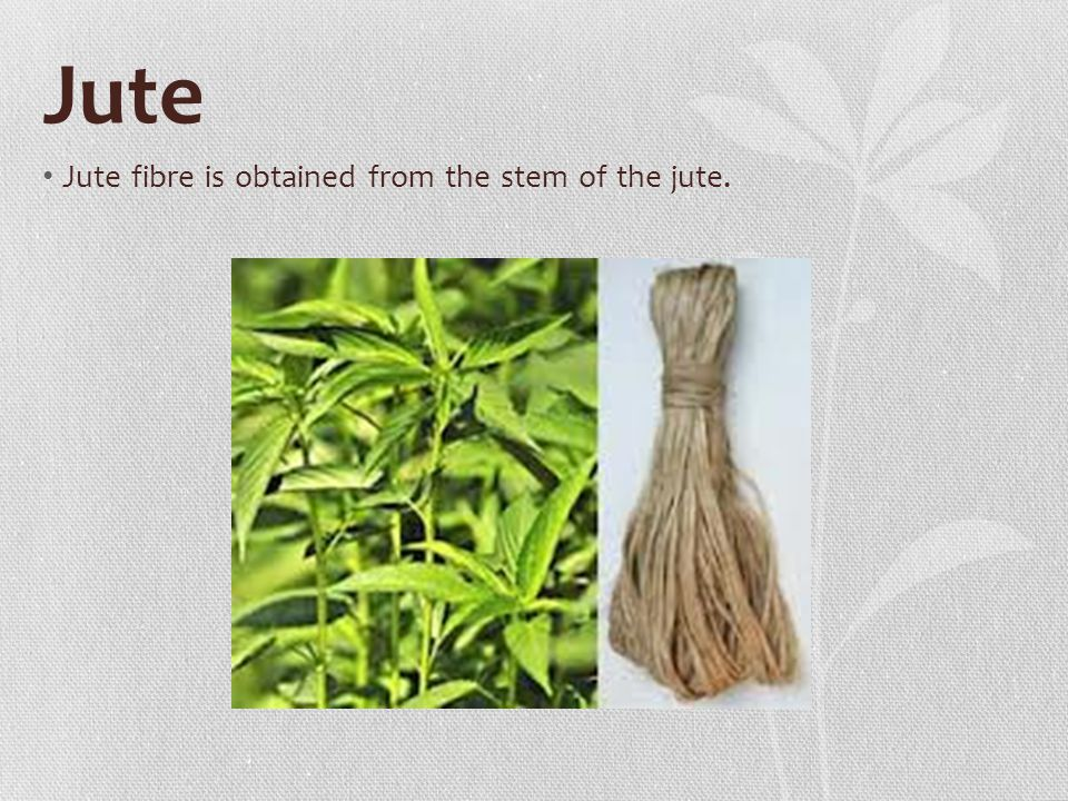 Jute Jute fibre is obtained from the stem of the jute.
