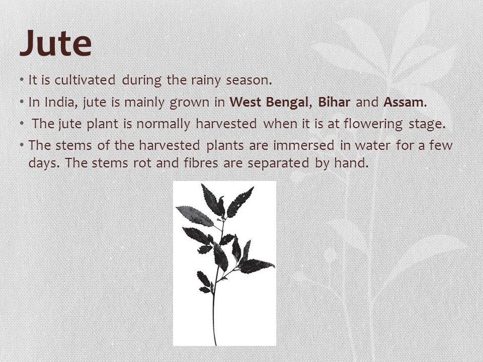 Jute It is cultivated during the rainy season.